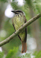 New World Flycatchers